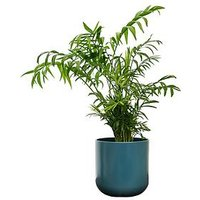 Product photograph showing Ivyline Real Parlour Palm Plant In Pot