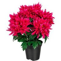 Chrysantheme pink im Kunststofftopf