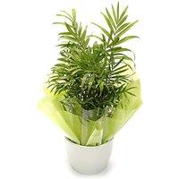 Parlour Palm Ceramic Pot Plant
