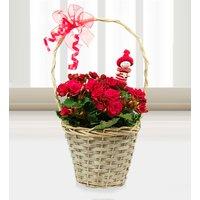 Begonia Christmas Basket - Free Chocs