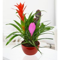 Lily Plant - Plant Gifts - Plant Gift Delivery - Birthday Gifts - Indoor Plants – Birthday Gift Delivery