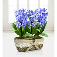Traditional Hyacinths - Free Chocs