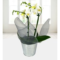 White Orchid - Free Chocs