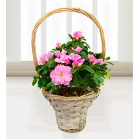 Azalea Baskets - Free Chocs - Pink Plants - Birthday Gifts -  Next Day Plant Delivery