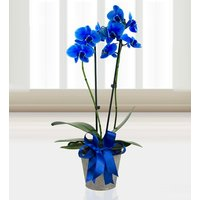 Sapphire Orchid - Blue Orchid - Orchid Plant - Plant Gifts - Plant Gift Delivery - Birthday Plant