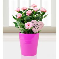 Classic Rose - Pink Rose Plant - Rose Plants - Birthday Gifts - Birthday Plants
