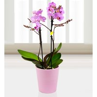Twin Phalaenopsis Orchid - Free Chocs - Purple Orchids - Orchid Delivery - Indoor Plants - Plant Delivery - Next Day Plant Delivery