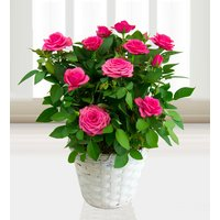 My Beautiful Rose Plant - Free Chocs - Dark Pink Rose Plant - Plant Delivery - Next Day Plant Delivery