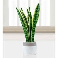 Sensational Sansevieria - Plant Gifts - House Plants - Birthday Gifts - Birthday Plants