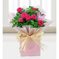 My Beautiful Rose Plant - Free Chocs