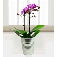Phalaenopsis Orchids - Free Chocs - Twin Orchids - Orchid Delivery