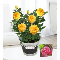 Contemporary Rose Plant - Free Chocs - Yellow Rose - Plant Delivery