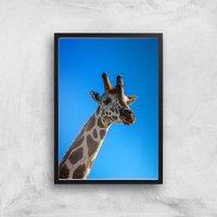 Giraffe Giclee Art Print - A2 - Black Frame - Giraffe Gifts