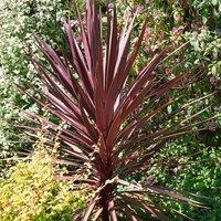 Cordyline aus. Red Star (Cordyline australis Red Star)
