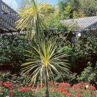 Cordyline aus. Variegata (Cordyline australis)