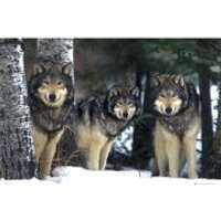 Wolves - Maxi Poster - 61 x 91.5cm - Wolves Gifts