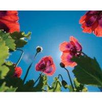 Poppies Sky - Mini Poster - 40 x 50cm