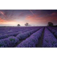 Lavender Field Dawn - 61 x 91.5cm Maxi Poster - Lavender Gifts
