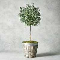 Potted Lavender Tree Foliage
