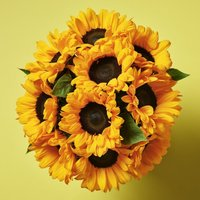 British Sunflowers Yellow or orange