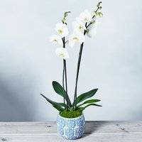 Premium Phalaenopsis Orchid White
