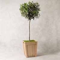 Potted Olive Tree Foliage
