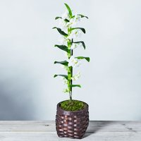 Dendrobium Orchid White