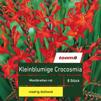 Kleinblumige Crocosmia 'Montbretien', 8 Stück, rot
