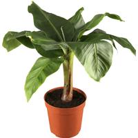 toom Luftverbesserer Banane 'Tropicana' 12 cm Topf
