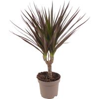 toom Luftverbesserer Drachenbaum rot/grün 11 cm Topf