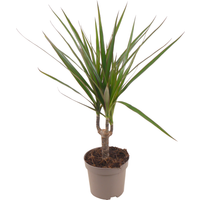 toom Luftverbesserer Drachenbaum grün 11 cm Topf