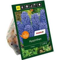 toom Hyazinthen blau 3 Zwiebeln