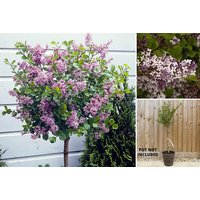Let colour bloom with your very own Lilac Syringa Palibin tree! - Lilac Gifts