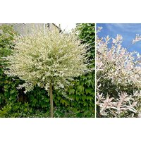 £17.99 instead of £22.01 (from You Garden) for a standard Salix 'Flamingo Willow' tree –save 18% - Willow Tree Gifts
