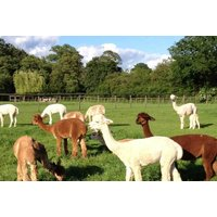 From £25 instead of £50 for a two-hour Alpaca experience for two people at Pennybridge Farm, Hampshire - meet the animals and save up to 50% - Farm Gifts