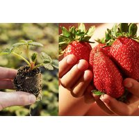 £12 (from Blooming Direct) for a pack of 12 strawberry 'Sweet Colossus' plug plants - Plants Gifts