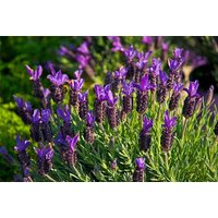 £8.99 instead of £19.99 (from Blooming Direct) for a set of 12 French Lavandula Stoechas 'Castilliano' lavender plugs - save 55% - Lavender Gifts