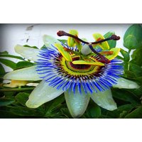 £14.99 (from Plantstore) for a climbing passion flower caerulea or £24 for two flowers! - Climbing Gifts