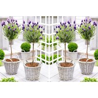 £24.99 instead of £39.99 (from Plantstore) for a pair of French lavender patio trees - save 38% - Lavender Gifts