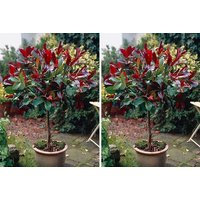 £14.99 instead of £22.01 (from Blooming Direct) for a Photinia red robin standard tree - save 32% - Robin Gifts