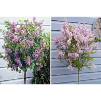 £19 instead of £29.99 (from Blooming Direct) for a Lilac Syringa Palibin tree - save 37% - Lilac Gifts