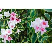 Image of 1, 2 or 3 Weigela 'Florida Variegata' Plants | Wowcher