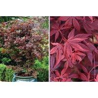Acer Palmatum 'atropurpureum' Plant   Living Social