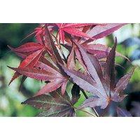 Acer Palmatum Atropurpureum Plant   Red   Living Social