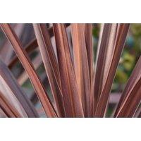 Image of Cordyline Australis 'Red Sensation' Jumbo Plug Plant - 1 or 3 Pack! | Wowcher