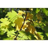 Acer Campestre (Field Maple) - 6 Plants in 2L Pots   Wowcher