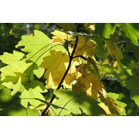 6 Acer Campestre Plants   Yellow   Living Social