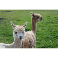 £14 for a 60-minute alpaca experience with farm entry for one at White Peak Alpaca Farm, Knutsford - Farm Gifts