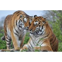 £44.25 for a 'Tea with the Tigers' and park entry to Paradise Wildlife Park for one from Buyagift! - Tigers Gifts