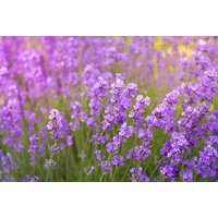 £26 instead of £67.99 (from Plant Store) for 24 lavender Hidcote blue plants - save 62% - Lavender Gifts